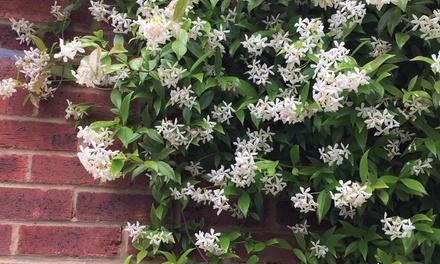 Lot de 2 jasmins étoilés Trachelospermum Jasminoides