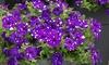 Petunia Night Sky Plants