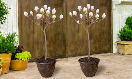 One or Two Magnolia Lucky Red Standard Plants