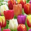 Triumph Tulip Mixture (50 bulbs)