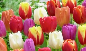 Pre-Order Triumph Tulip Mixture (50 bulbs)