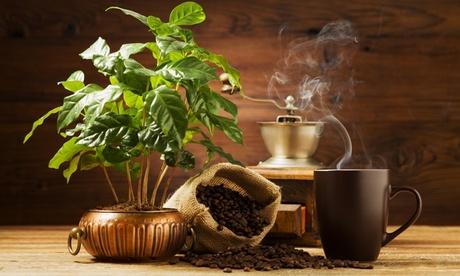2er- oder 4er-Set Kaffee-Pflanzen