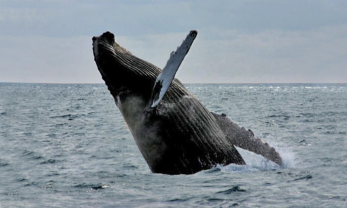 A Cape Ann  Whale Watch - Gloucester: $29 for a Whale-Watching Cruise from Cape Ann Whale Watch (Up to $48 Value)