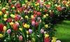 Tulip Full Border Mix - 32 or 64 Bulbs