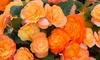 5, 10 or 15 Begonia Apricot Shades Jumbo Plug Plants