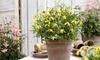 Clematis Little Lemon Plants