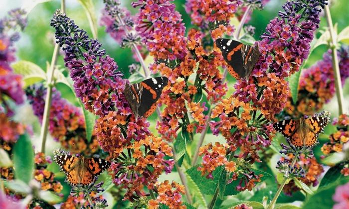 Buddleia Flower Power: One, Two or Three Plants (£5.98)
