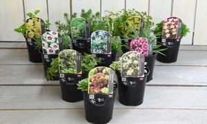 Pack de 6 plantes Alpine