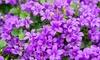 """3er- oder 6er-Set pflegeleichte Glockenblumen """"Intents Purple"""""""