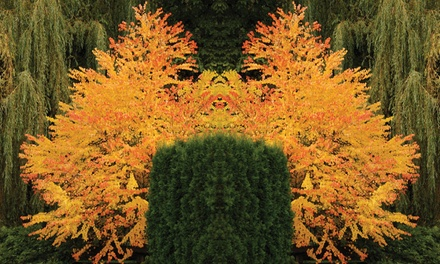 One, Two or Three Colourful Katsura Trees