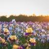 Reblooming Bearded Iris Bulbs Mix (3-Pack)