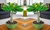 Groupon Goods Global GmbH: 1 ou 2 lots de Palmiers hawaïens Brighamia