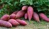 3 oder 6 Pflanzen lila Süßkartoffeln