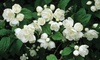 Mock Orange Belle Etoile Shrub