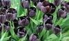 Tulip 'Queen of the Night' - 32 Bulbs