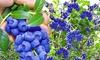 "Trauben-Heidelbeere ""Reka Blue"""