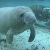 59% Off Manatee Snorkel Tour in Crystal River