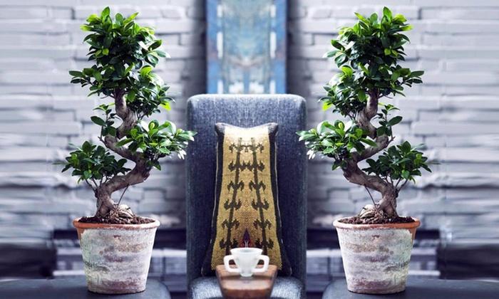 Groupon Goods Global GmbH: 1 ou 2 bonsaï géant 55-70 cm de Ficus Ginseng en forme de S dès 34,99€ (jusqu'à 61% de réduction)