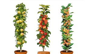 Lots de 3 arbres fruitier 60-70cms