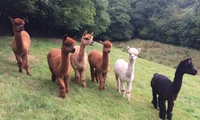 Two-Hour Alpaca Experience with Refreshments for Two from Woolley Animals