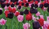 """16 or 32 """"Berry Sorbet"""" Tulips"""