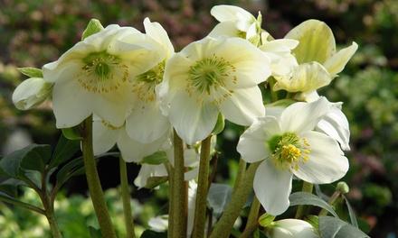 5, 15 or 30 Christmas Rose Plants with Optional Mycorrhizal Fungi