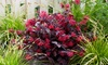 1, 2 o 3 arbustos Loropetalum Ever Red