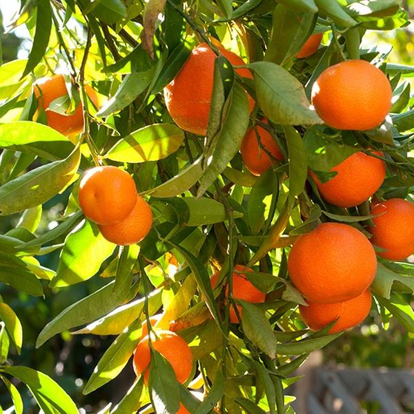 Clementine, California Honey, Kishu Seedless, or Pixie Mandarin Citrus  Trees Live Potted Plants