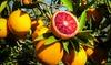 Oranger sanguin Citrus Tarocco 100-120 cm