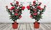 Set de plantes Camellia Japonica