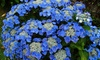 Set di 3 o 6 piante di Ortensia Teller