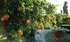 California-Grown Pomegranate Parfianka Tree, 2-Gallon Potted Plant: California-Grown Pomegranate Parfianka Tree, 2-Gallon Potted Plant