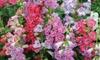Penstemon Ice Cream - 3 or 9 Plants