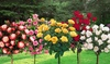Set di 3 o 5 tuberi di rose