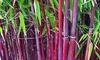3x oder 6x roter Bambus