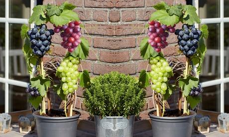 Set de 3 o 6 plantas de vid de tres colores
