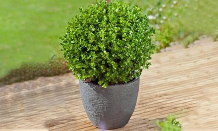 Set da 3 o 5 piante di Bosso