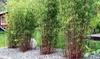 Lot de plantes de Bambou