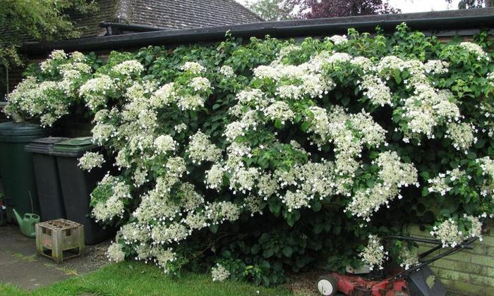 Topf ca Hydrangea petiolaris Kletterhortensie große weiße Blüten 1,5 L 30 cm