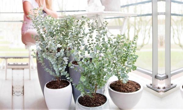 lot de 2 4 ou 6 plantes eucalyptus azura 25 35 cm