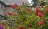 """1 of 2 Callistemon Citrinus """"Splendens""""-planten in pot"""