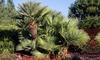 Palmier nain européen