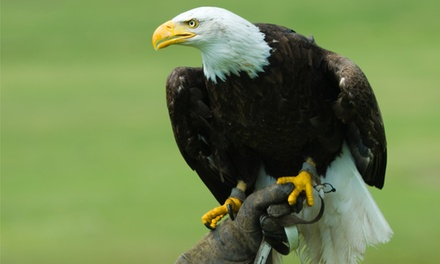 American Eagles Experience for Up to Four at Birds of Prey Centre (Up to 76% Off)