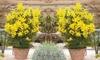 2 et 3 Mimosas d'hiver 9 cm