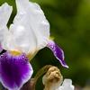 Pre-Order: Iris Germanica Bare Root Plants (7-Pack)