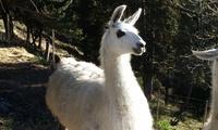 Visite de la ferme des lamas et balade à la longe de 2 à 4 personnes dès 24,99 € chez Les Lamas du Mercantour
