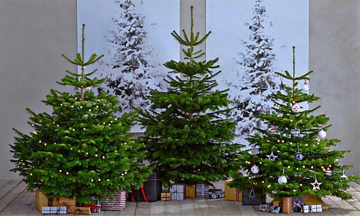 Nordman Fir Christmas Trees