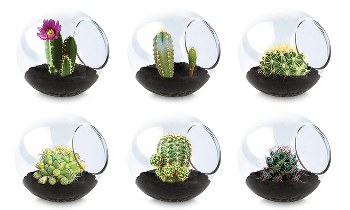 Tiny Terrariums Assorted Cacti 3 Pack
