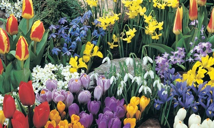 Bumper Spring Flowering Bulb Collection: 100 or 200 Bulbs from £7.99 With Free Delivery