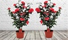 Lot de 2 Camellia Japonica
